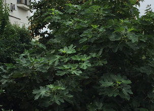 イチジクの葉っぱ。遠くから見ても大きな葉であることが分かる。
