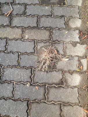 インターロッキング敷き舗装から出た雑草