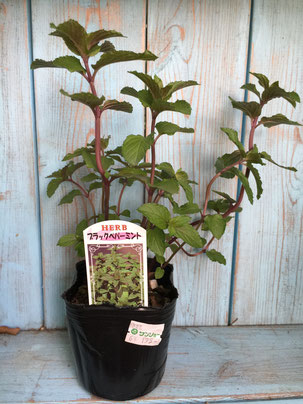 ブラックペパーミントの苗木。初めから元気な苗だ。
