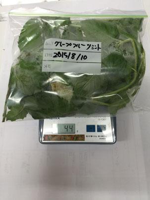 グレープフルーツミントは44gの収穫でした。