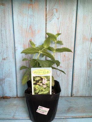 ペパーミントの苗木。