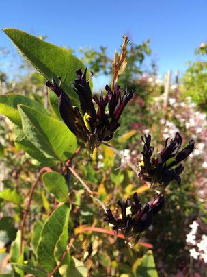 日本では珍しい黒花のロニセラ 以前紹介したツキヌキニンドウの従兄弟かな?