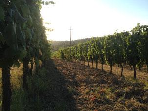 Avondzon in de wijngaarden van San Quintino eind augustus 2017