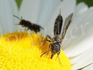 18.06.2017 : vorne eine Keulhornwespe, ein Schmarotzer bei Wildbienen