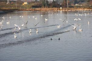 花泉 堤下集落自治会 堤 一関市 白鳥