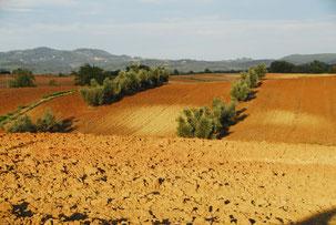 Oliven, kräftige Erde und Toskanalandschaft