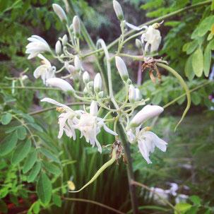モリンガの花と鞘
