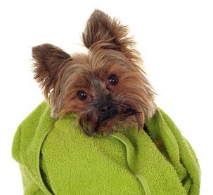 Yorkshire Terrier Yorkie gebadet