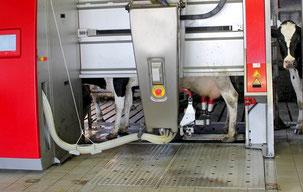 Melken mit Robotor
