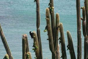 Cactus cierges