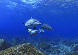 御蔵島のイルカがラビングしているのをドルフィンスイムで発見