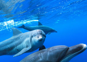 こちらを見てアイコンタクトする御蔵島のイルカ写真
