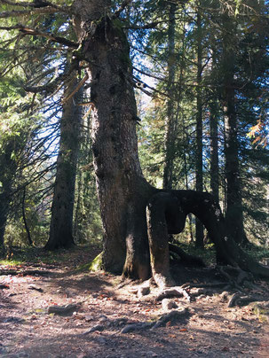 L'arbre Scorpion, Haut-Jura, La Pesse.