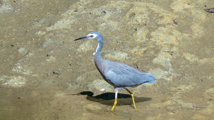 White-faced Heron, Weißwangenreiher, Egretta novaehollandiae
