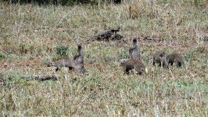 Banded Mongoose, Zebramanguste, Mungos mungo