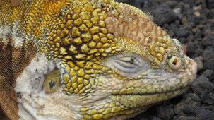Galapagos land Iguana, Drusenkopf, Conolophus subcristatus
