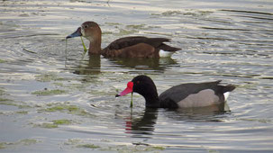 Rosy-billed Pochard, Peposakaente, Netta peposaca, Laguna Alalay