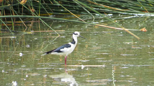 Black-necked stilt, Amerikansicher Stelzenläufer, Himantopus mexicanus, Laguna Alalay