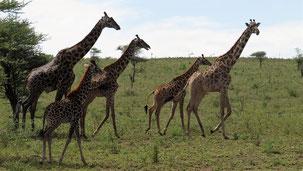 Masai Giraffe, Massai Giraffe, Giraffa tippelskirchi, Serengeti
