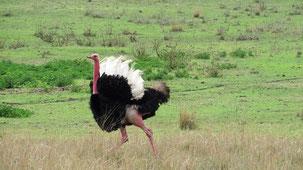 Common Ostrich, Afrikansicher Strauß, Struthio camelus