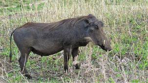 Common Warthog, Warzenschwein,  Phacochoerus africanus