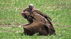 Lappet-faced Vulture, Ohrengeier, Torgos tracheliotos