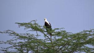African Fish-Eagle, Schreiseeadler, Haliaeetus vocifer