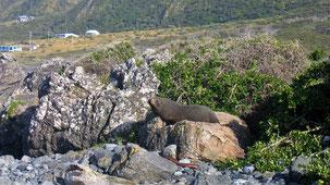 New Zealand Fur Seal, Neuseeländischer Seebär, Arctocephalus forsteri, Cape Palliser