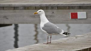 European Hering Gull, Silbermöwe, Larus argentatus