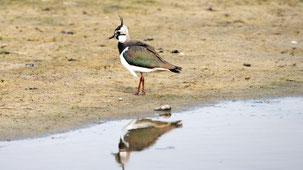 Northern Lapwing, Kiebitz, Vanellus vanellus, Fehmarn