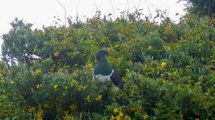 Kereru, New Zealand Pigeon, Maori-Fruchttaube, Hemiphaga novaeseelandiae
