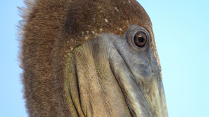Galapagos Brown pelican, Braunpelikan, Pelecanus occidentalis urinator