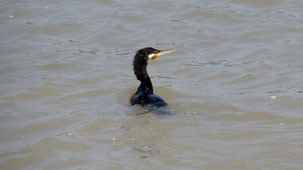 Great Cormorant, Kormoran, Phalacrocorax carbo