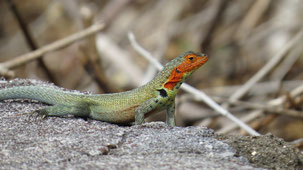 Galapagos Lava Lizard, Galapagos Lavaechse, Microlophus albemarlensis