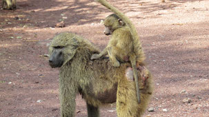 Yellow Baboon, Steppenpavian, Papio cynocephalus