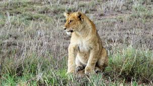 Lion, Löwe, Panthera leo