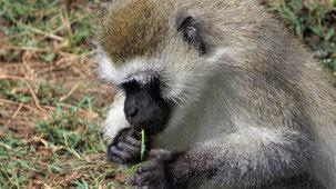 Vervet Monkey, Südliche Grünmeerkatze, Chlorocebus pygerythrus