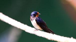 Barn Swallow, Rauchschwalbe, Hirundo rustica