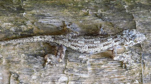 Tree Gecko, Baumgecko, Hemidactylus platycephalus