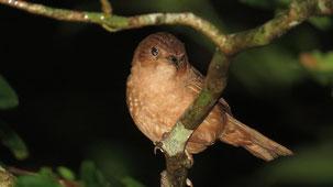 Rufous Antpitta, Einfarb-Ameisenpitta, San Rafael