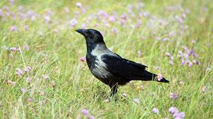 Hooded Crow, Nebelkrähe, Corvus cornix, Fehmarn