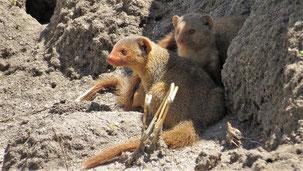 Common Dwarf Mongoose, Südliche Zwergmanguste, Helogale parvula, Serengeti