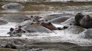 Hippopotamus, Flusspferd, Hippopotamus amphibius, Ngorongoro National Park
