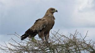 Tawny Eagle, Savannenadler, Raubadler, Aquila rapax