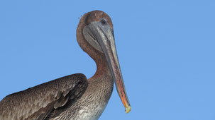 Galapagos Brown pelican, Braunpelikan, Pelecanus occidentalis urinator