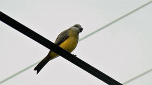 Tropical Kingbird, Trauertyrann, Tyrannus melancholicus