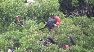 Great Frigatebird, Bindenfregattvogel, Fregata minor