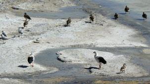 Andean Goose, Andengans, Laguna Blanca
