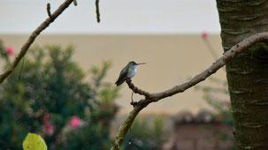 White-bellied Hummingbird, Weißbauchamazilie, Amazilia chionogaster, Samaipata
