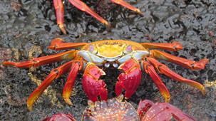 Red Rock Crab, Rote Klippenkrabbe, Grapsus grapsus